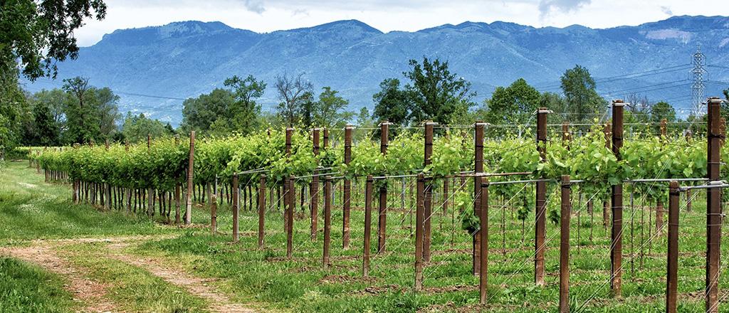 Campi di uve Antonio Facchin